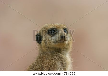 meerkat posing_2