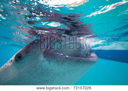Underwater Shoot Of A Gigantic Whale Sharks ( Rhincodon Typus) Feeding Plankton On The Surface Of Th