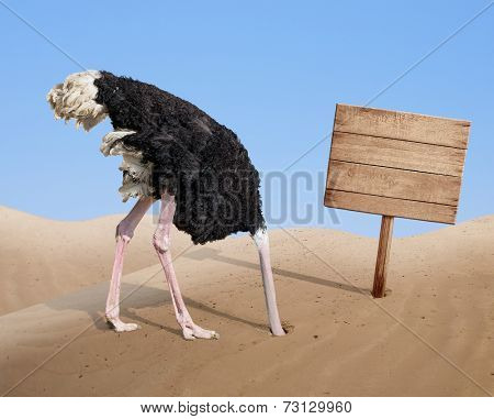 scared ostrich burying head in sand near standing blank wooden signboard poster