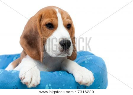 Small dog sitting on its place. Beagle puppy poster