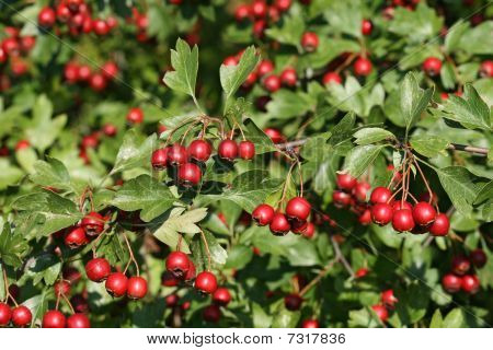 Mature Fruits Of The Hawthorn