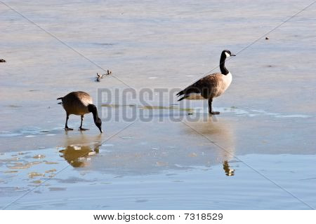 Two geese standing on a frozen lake surface poster