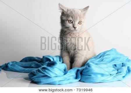 British Kitten In Studio On The Gray Background