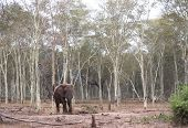 Lanscape photograph of an african elephant standing alone in a fever tree forest poster