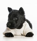 cute puppy wearing knitted sweater laying down on white background - scottish terrier poster