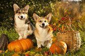 Welsh Corgi Pembroke dog poster