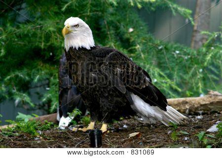 eagle too
