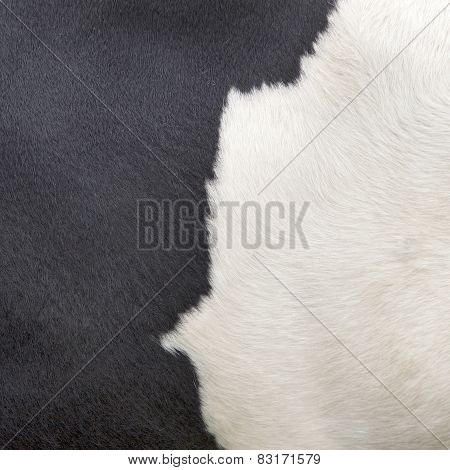 Square Part Of Hide Of Black And White Cow