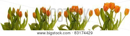Time lapse series of tulips blooming.
