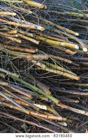 Coppicing In Oxfordshire Woodland During Spring Time