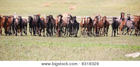 A herd of young horses on green pasture poster