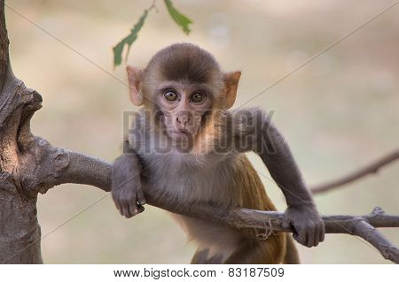 Young Rhesus Macaque Playing In A Tree At Tughlaqabad Fort, Delhi, India