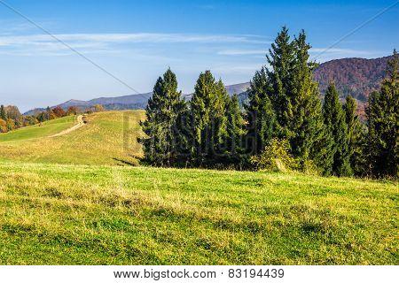 Coniferous Forest On A  Hillside