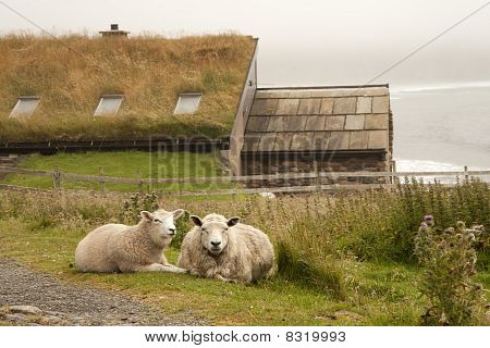 Sheeps And Hut On An Orkney Island