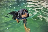 portrait of a purebred swimming rottweiler in a river poster