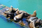 Sealions on a wooden dock in the ocean water. poster