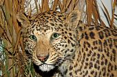 A Beautiful Model of a Leopard Animal. poster