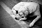 Homeless stray dog laying at urban road. Black and white image. poster