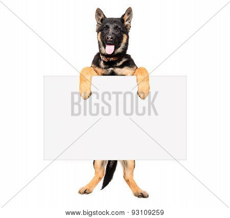 Puppy German Shepherd holding a placard