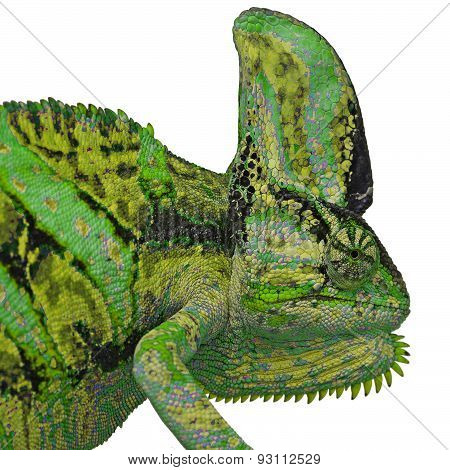 Chameleon Or Calyptratus  On White Background