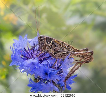 grasshopper sitting on a flowered cornflower