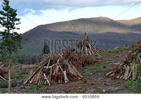 Pine Beetle Devestation
