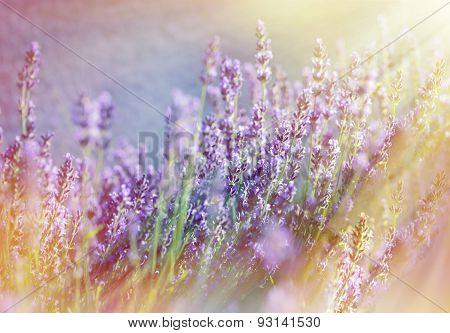 Lavender flowers illuminated with sunbeams