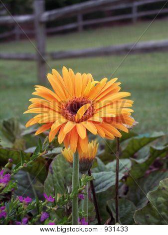 Orange Gerbera Daisie With Fence