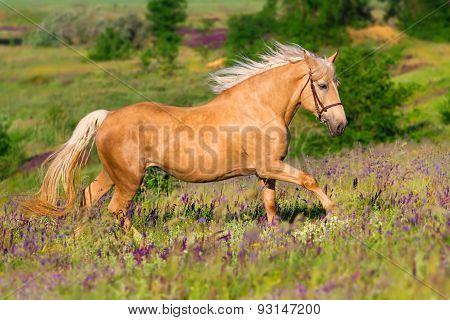 Palomino horse run