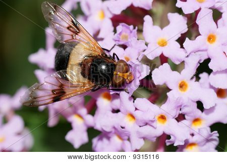 Hoverfly, Volucella pellucens on a Flower