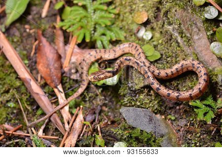 Atayal slug snake