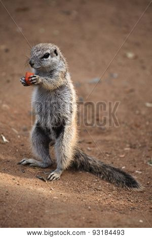 Cape ground squirrel (Xerus inauris). Wildlife animal.