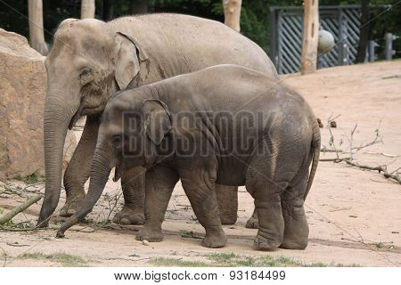Indian elephant (Elephas maximus indicus) with elephant calf. Wildlife animals.