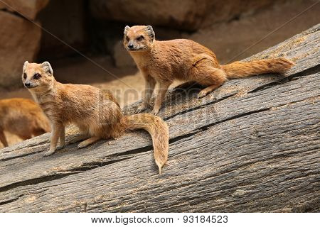 Yellow mongoose (Cynictis penicillata), also known as the red meerkat. Wildlife animal.