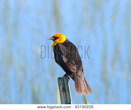 Yellow-headed Blackbird on fencepost