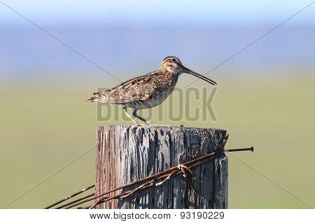Common Snipe on fencepost