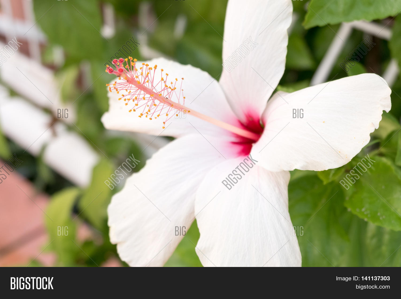 Hibiscus Flower White Image Photo Free Trial Bigstock