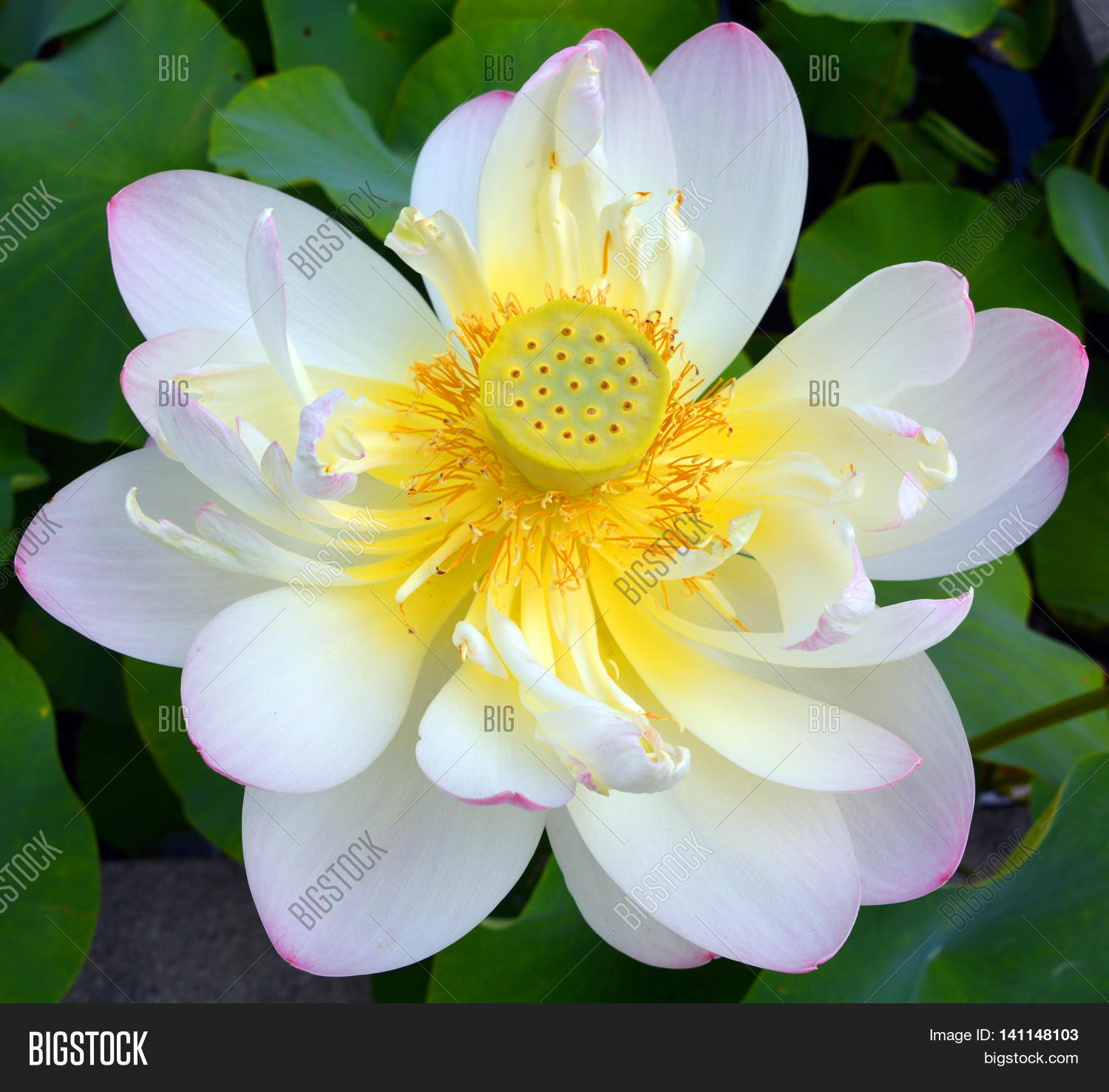 Lotus flower nelumbo nucifera image photo bigstock lotus flower nelumbo nucifera known by a number of names including indian lotus mightylinksfo