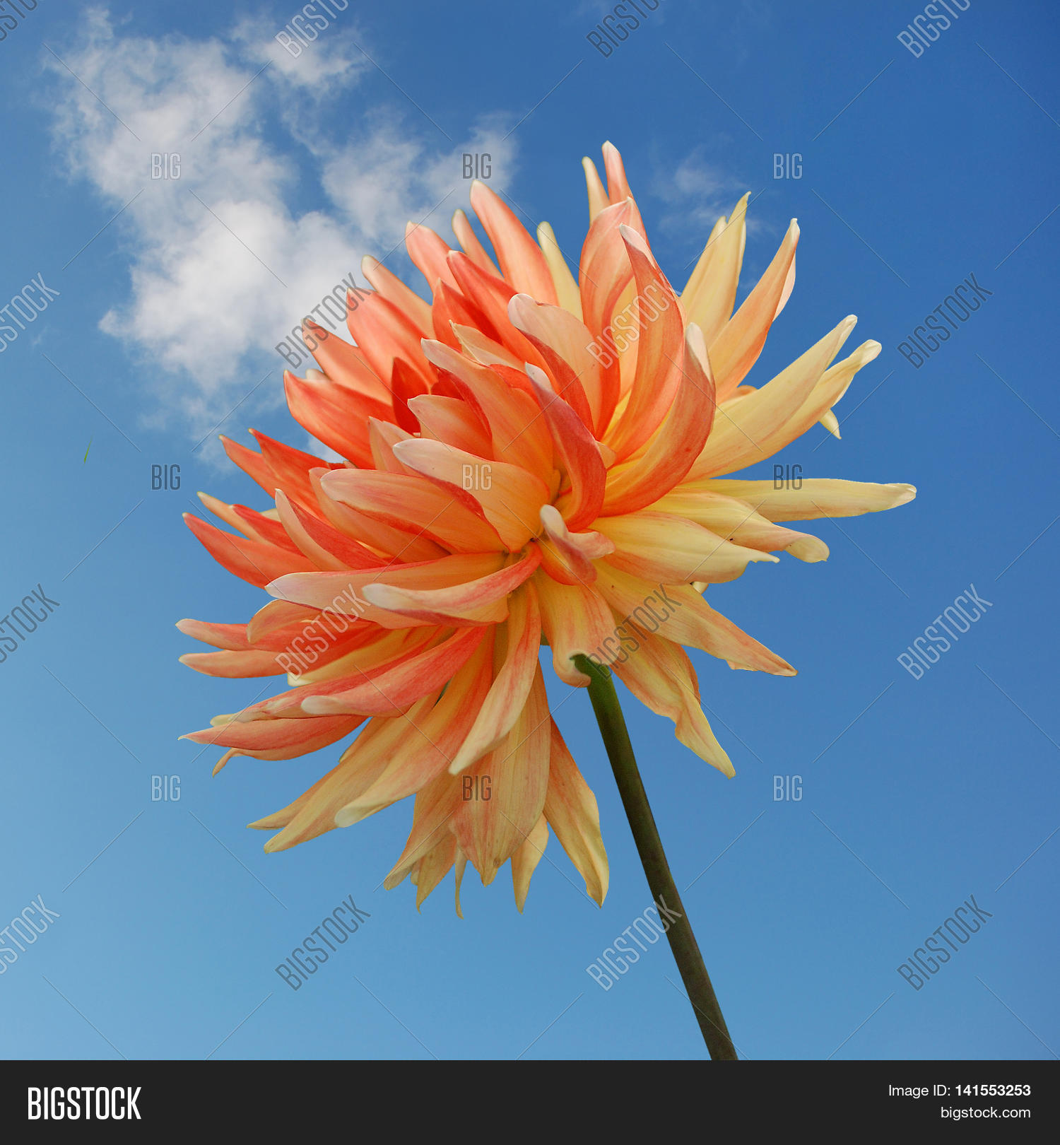 Orange Dahlia Flower Image Photo Free Trial Bigstock