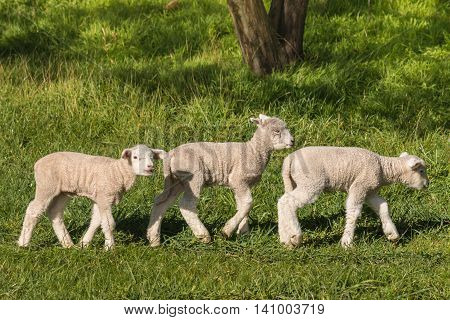 closeup of three little lambs grazing on meadow