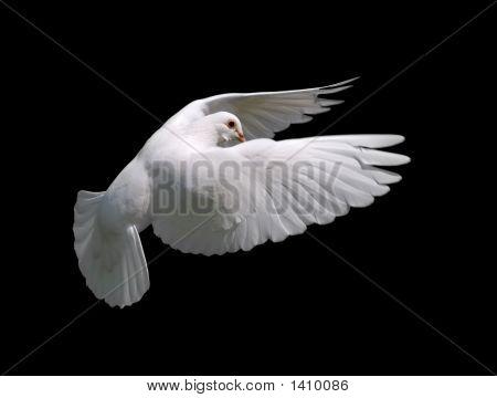 White Dove In Flight 10