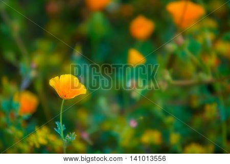 California Poppy flowers Eschscholzia californica close-up background