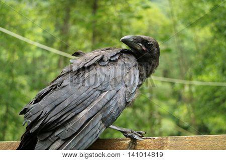 Royal Black Raven, Closeup