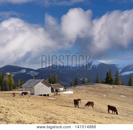 Spring landscape in a mountain village. Cows grazing in a meadow. Sunny weather with beautiful cumulus clouds. Carpathians, Ukraine, Europe