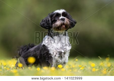 Bichon Havanese Dog Outdoors In Nature