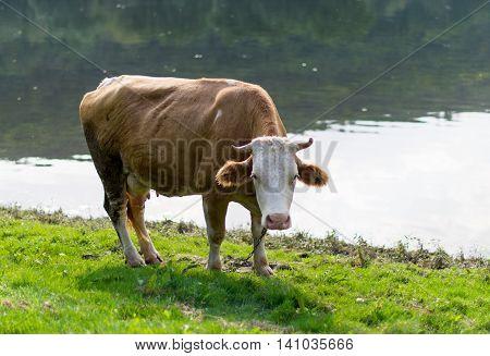 cow grazing in a meadow summer, farm