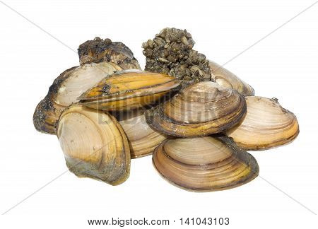 Anodonta is a genus of freshwater mussels in the family Unionidae, the river mussels