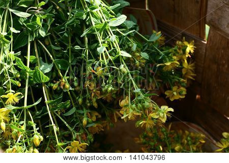 Hypericum perforatum bouquet in the basket, yellow forest wildflowers