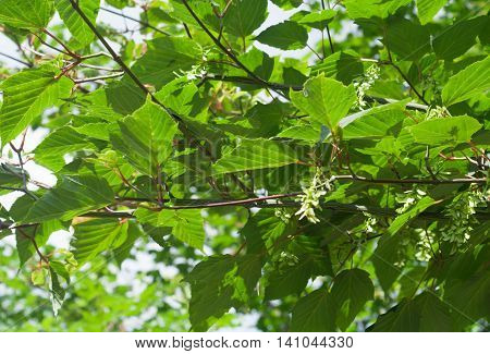 Acer Tegmentosum, Manchurian striped maple, branches with green leaves and seeds in summer daylight.