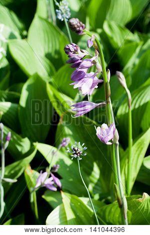 Hosta rectifolia Nacai, hostas, plantain lilies, garden plant with lilac flowers on green leaves background